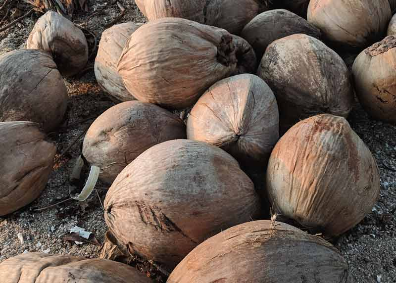 Rohstoff für die Kokoskohle